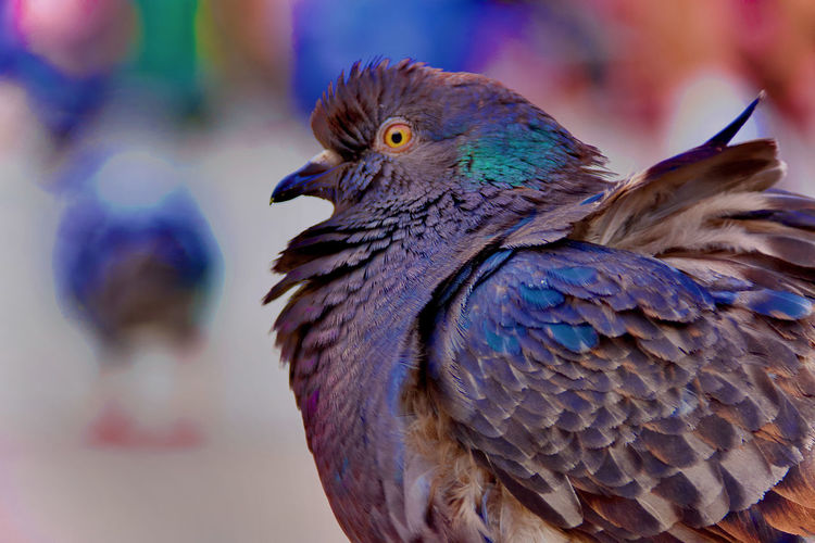 A pigeon is