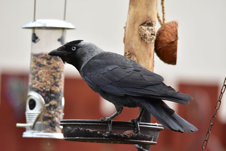 Close-up of bird , jackdaw, perching on wooden post