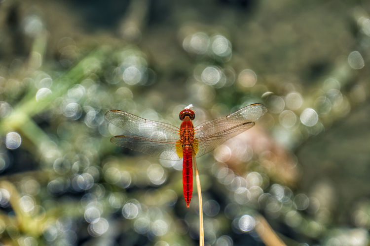 Scarlet dragonfly in Selous National Park Invertebrate Animals In The Wild Animal Insect Animal Themes One Animal Dragonfly Animal Wildlife Close-up No People Day Focus On Foreground Animal Wing Red Nature Plant Outdoors Damselfly Sunlight Selective Focus Scarlet Dragonfly Crocothemis Erythraea Tanzania National Park Selous