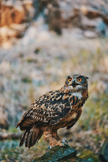 Animal Themes One Animal Animal Animal Wildlife Animals In The Wild Bird Vertebrate Bird Of Prey Focus On Foreground No People Day Close-up Nature Portrait Perching Owl Looking Outdoors Looking Away Eagle Animal Eye