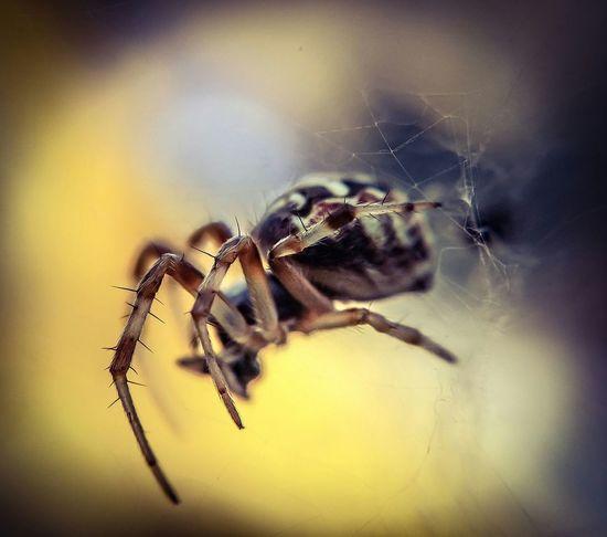 Attack Of The Macro Collection! Macro Photography Macro_collection EyeEm Macro Macro Spider Insect Paparazzi Arachnophobia