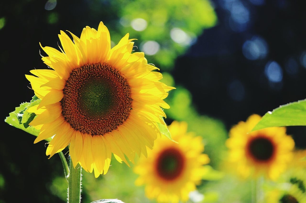 flower, yellow, petal, nature, fragility, growth, beauty in nature, flower head, freshness, sunflower, outdoors, plant, no people, blooming, close-up, day