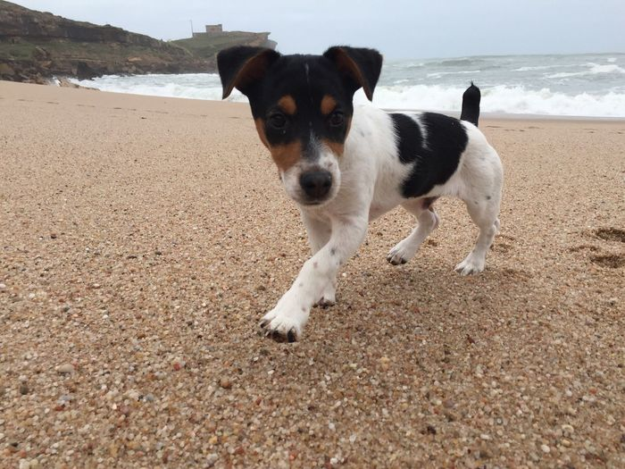 Jackrussell Jrt Dog Ralph