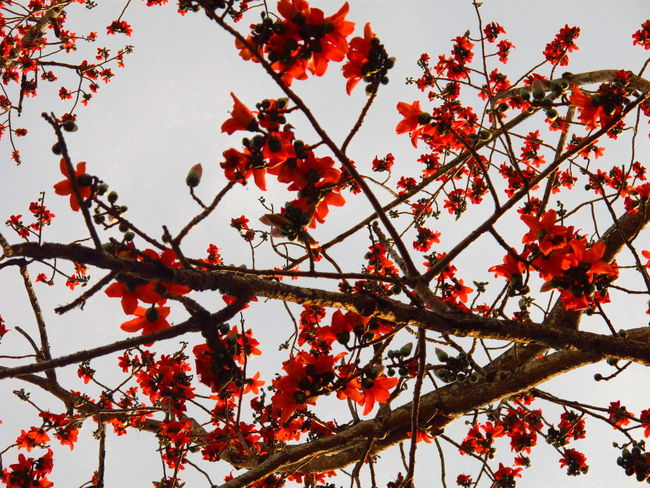 Blume Bombax Bombaxceiba Botany Fiore Flor Flowers Focus On Foreground Growth Leaf Red цветок  花 꽃