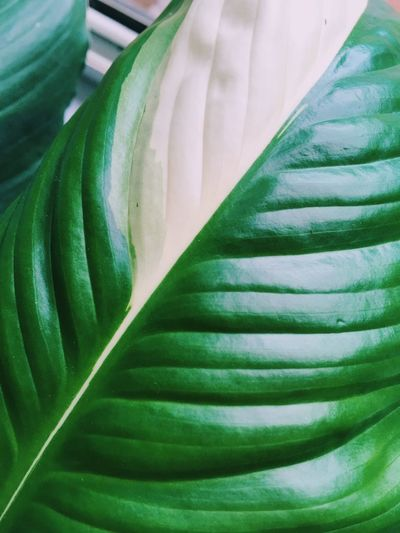 White Varigated Leaves Varigated Full Frame Backgrounds Green Color Close-up No People Pattern Freshness Beauty In Nature Growth Plant Part Fragility Plant White Color Petal Still Life Textile Flower Indoors  Leaf Vulnerability