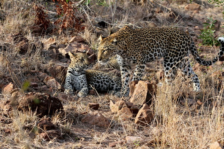 Leopard With Cub In Forest