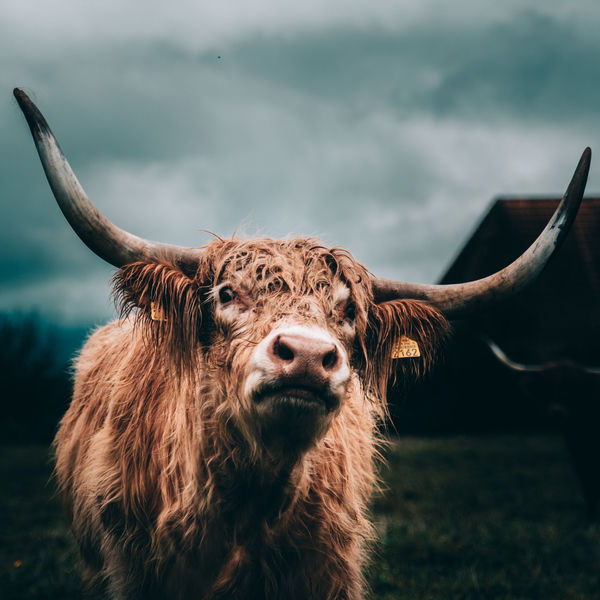 Highland Cattle Animal Animal Hair Animal Head  Animal Nose Animal Themes Brown Cattle Close-up Cow Domestic Animals Focus On Foreground Highland Cattle Highlander Horns Moody One Animal Outdoors Switzerland Zoology