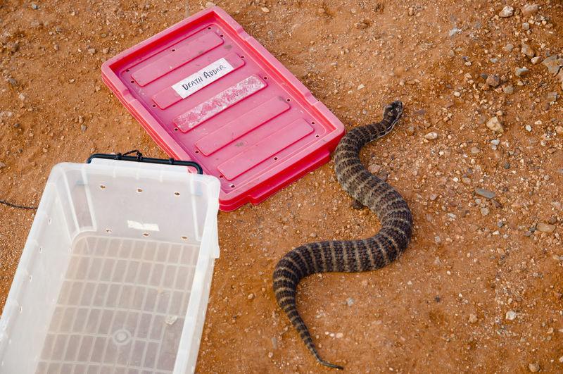 Death Adder Snake - Australia Australia Outback Reptile Snake Death Adder Pilbara Venomous