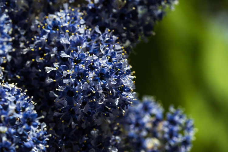 Blue flowers Flower Flowering Plant Plant Beauty In Nature Freshness Purple Fragility Vulnerability  Growth Selective Focus Close-up Petal Nature No People Day Flower Head Botany Blue Inflorescence Outdoors Springtime Bunch Of Flowers Lilac