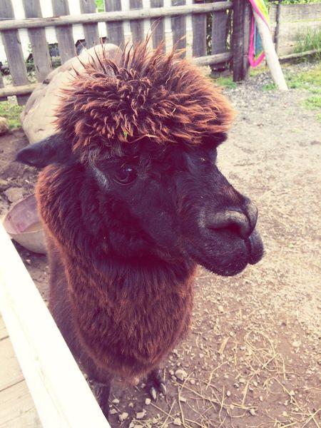 One Animal Animal Themes Domestic Animals Mammal Day No People Livestock Close-up Outdoors Pets アルパカ 牧場