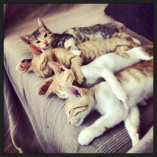 Kittens Kittens Sleeping Cats Of EyeEm Catsoftheworld Kittensnuggles Family Turkey Cats Icmeler