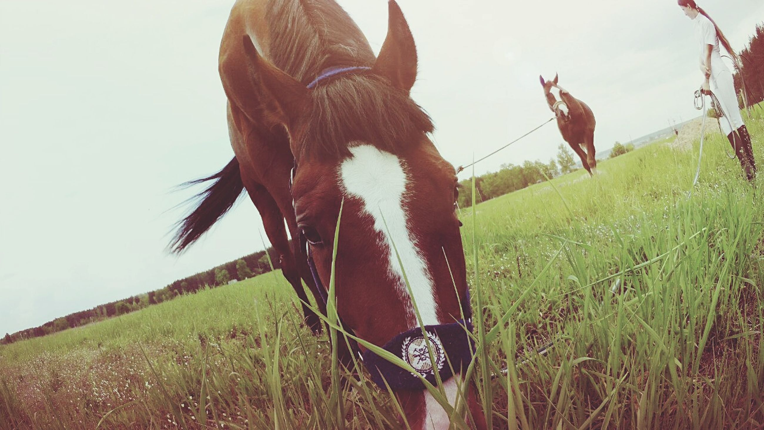 horse, animal themes, field, grass, livestock, domestic animals, mammal, one animal, standing, herbivorous, grassy, sky, working animal, landscape, nature, day, grazing, giraffe, outdoors, cow