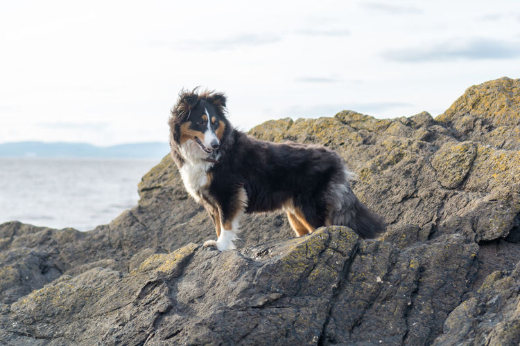 Animal Themes Day Dog Domestic Animals Mammal Nature No People One Animal Outdoors Pets Rock - Object Sheepdog Sheltie Shetland Sheepdog Sky Standing