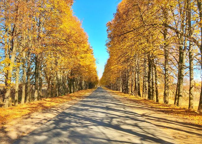 Gold alley краскиосени золотаяосень Goldautumn Autumn Nature Plant Sunlight Sky Tree No People Beauty In Nature Outdoors Cold Temperature Clear Sky