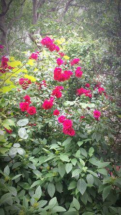 Red Rose Bush Ever Green Shrub