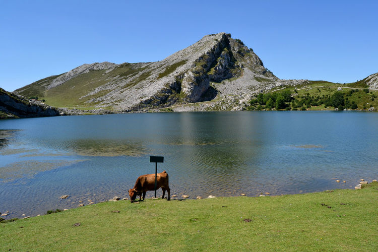 Cow standing at lakeshore against mountain