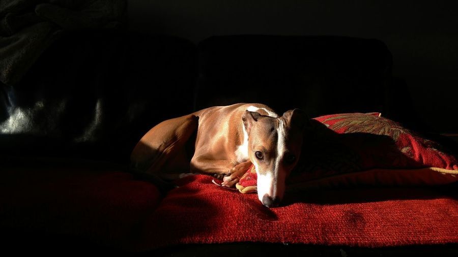 Close-up of italian greyhound relaxing on sofa