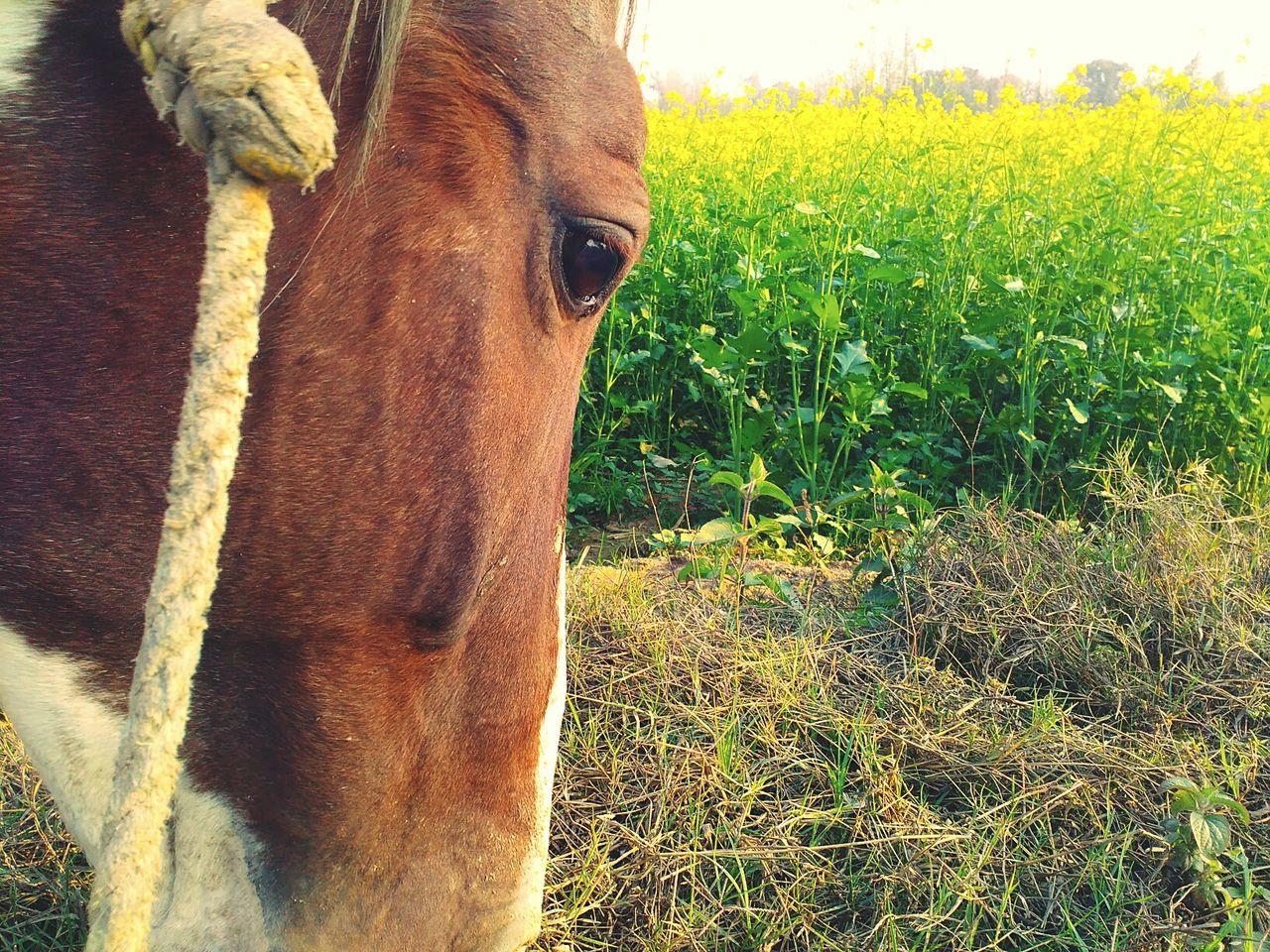 domestic animals, mammal, animal themes, one animal, field, livestock, no people, day, outdoors, grass, nature, close-up