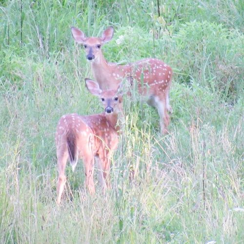 Baby Deer Deer Animals Baby Animals A Walk In The Woods Forest In The Forest Fawn