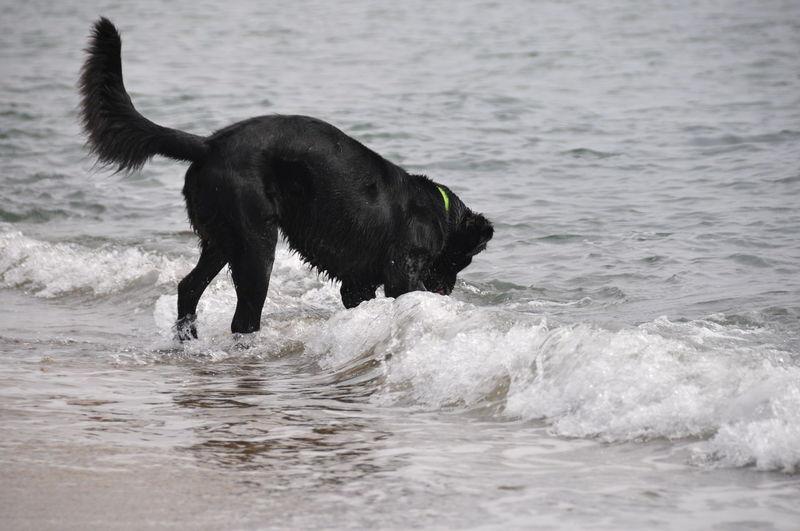Hund Meer Strand Water One Animal Animal Themes Animal Mammal Motion Sea Dog Canine Waterfront Domestic Domestic Animals Pets Wave Vertebrate Splashing Day Nature Outdoors No People Adult Animal