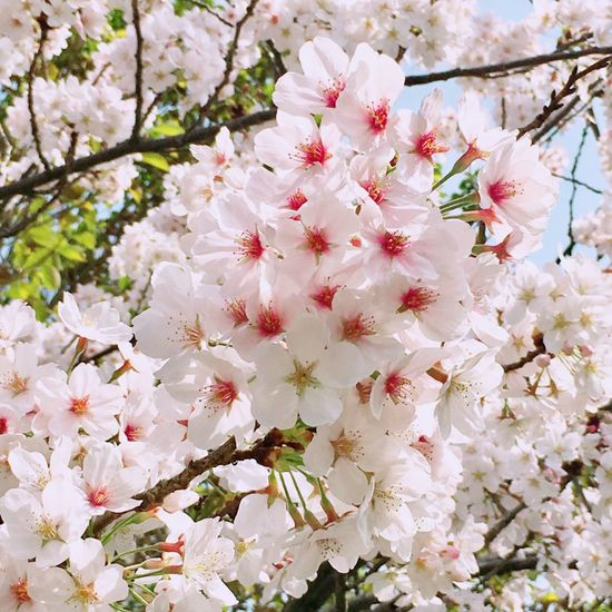 ❀桜❀ ぽふぽふ たわわ いつもの場所 Cherry Blossoms 大好きな花 Flower Flowering Plant Plant Blossom Fragility Springtime Growth