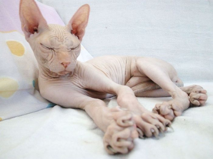 sphynx Sphynx Sphynx Cat Sphynxcat Cat Cats Cat♡ Cat Lovers Cats Of EyeEm Catalunya EyeEm Selects Pets Lying Down Ear Relaxation Dog