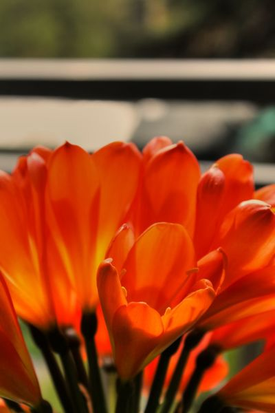 Shiny Beauty In Nature Bloom Blooming Blossom Close-up Day Flower Flower Head Focus On Foreground Fragility Freshness Growth Nature No People Orange Color Orange Flower Outdoors Petal Plant