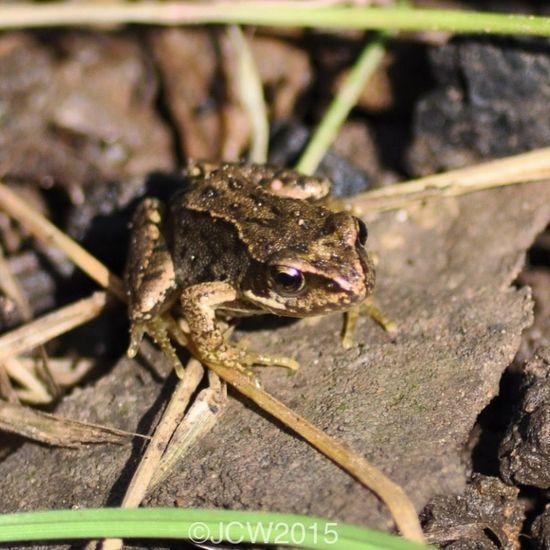 Froglet Babyfrog Closeup
