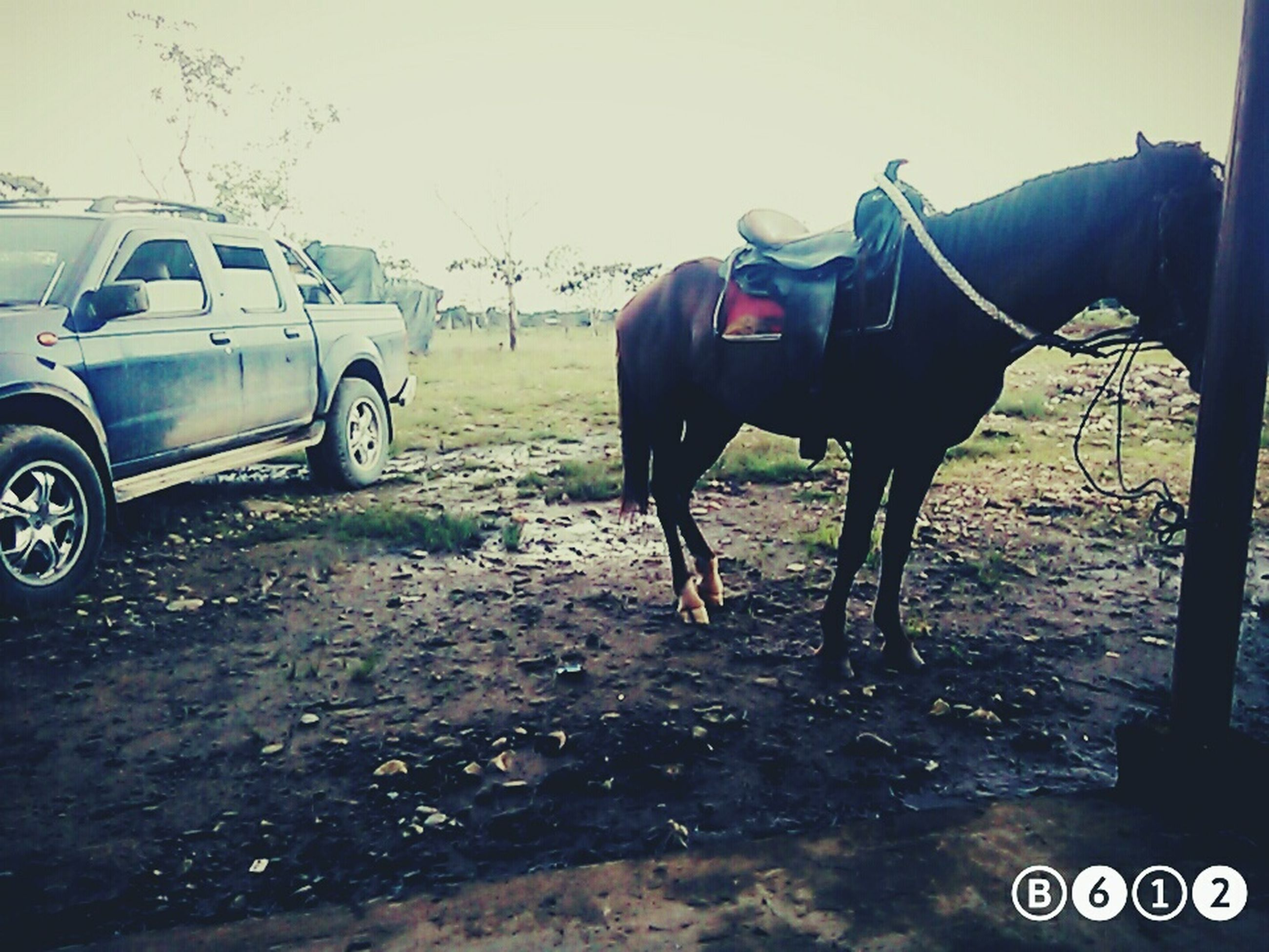 land vehicle, transportation, animal themes, mode of transport, domestic animals, car, horse, mammal, one animal, field, sky, livestock, day, outdoors, no people, road, working animal, street, side view, landscape