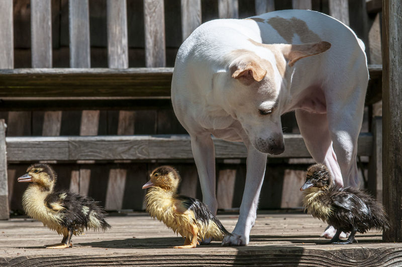 View of an animal, dog, ducklings, animal baby