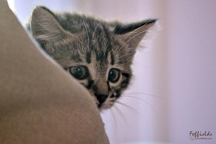 Katz Katzenliebe Kitten 🐱 Animal Animaldomèstic Cat Cateyes Chat Chaton Close-up Eyes Jeu Katzen Kitten Kittenoftheday Minou One Animal Pets Yeux