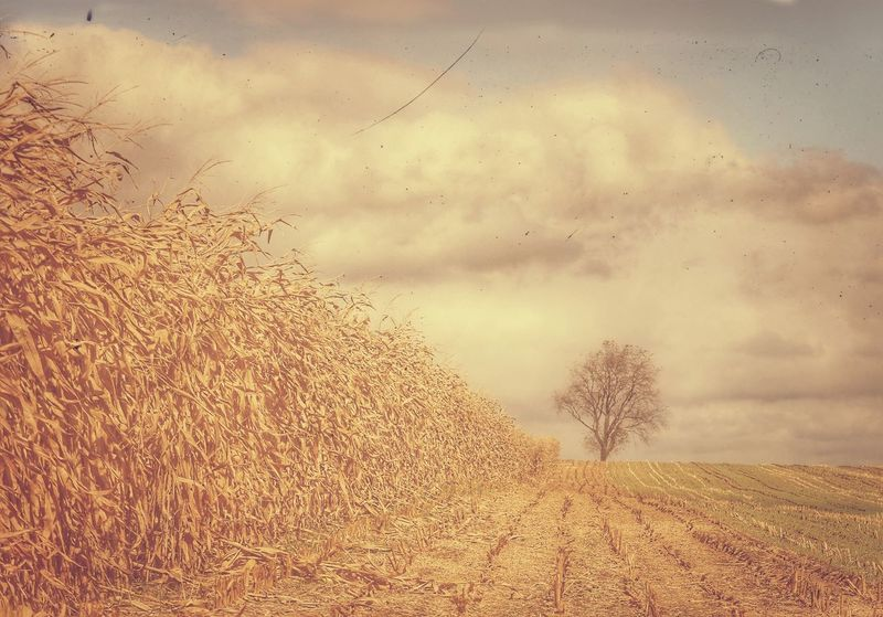 Lone tree, dropped its leaves, watching harvest, ready for winter. JGLowe Harvest Corn Harvest Time Corn Amish Farm Amish Sky Cloud - Sky Nature Beauty In Nature No People Plant Tranquility Land Tree Scenics - Nature Tranquil Scene Environment Day Field