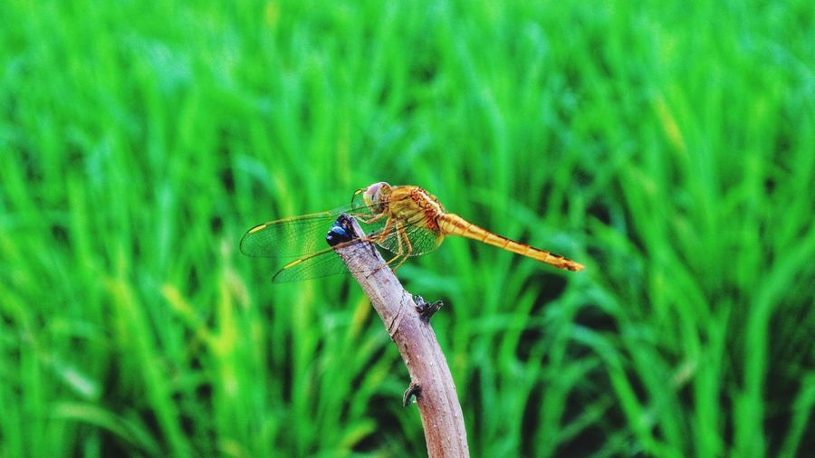 Close-up of dragonfly on plant at field