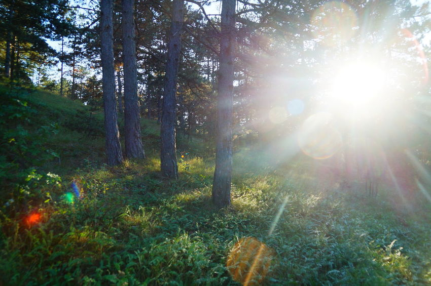 Pine forest, sun beam Light Beauty In Nature Day Flare Forest Grass Growth Lens Flare Lensflare Nature No People Outdoors Pilis Pilisszántó Scenics Sunbeam Sunlight Sunset Tranquil Scene Tranquility Tree
