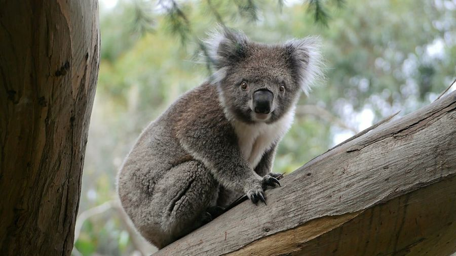 Low angle portrait of koala sitting on branch at zoo
