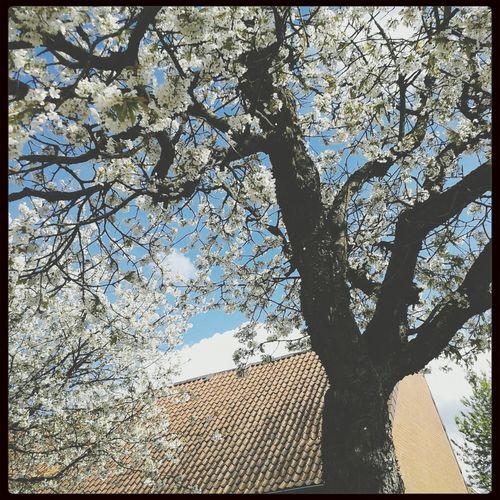 Kirschblüten ♥