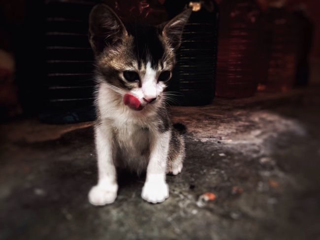 Domestic Cat Pets Animal Themes One Animal Looking At Camera Cat No People Buddys Domestic Animals EyeEmNewHere