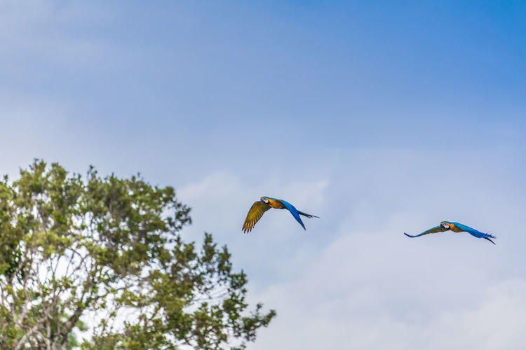 Low angle view of macaws flying against sky