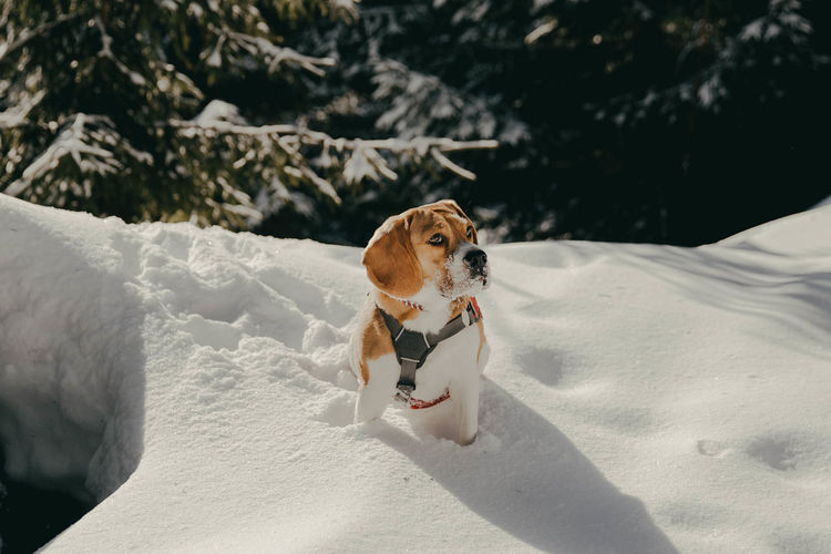 Beagle dog in the snow Beagle Beaglelovers Beagle Channel Beagles  Beagleoftheday Dog Dogs Dogs Of EyeEm Winter Wintertime Winter Wonderland Winter Sport Snow Snowing One Animal Pets Canine Domestic Animal No People Cold Temperature Day Sunlight Small White Color