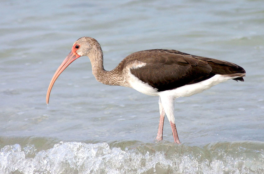 Animal Themes Beauty In Nature Bird Close-up Gulf Of Mexico Ibis Madeira Beach Florida Nature No People Saint Petersburg Florida Water Water Reflections Wildlife