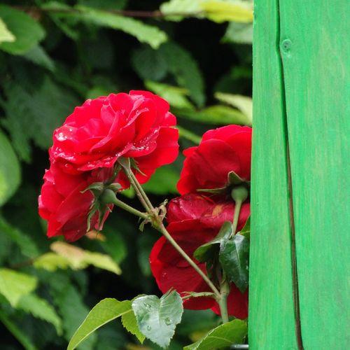 Gardening Roses In Bloom Rose Garden Nature_collection Landscape_collection EyeEmNatureLover Bloementuin Flowering Backyard Garden Photography InTheGarden Beauty In Nature