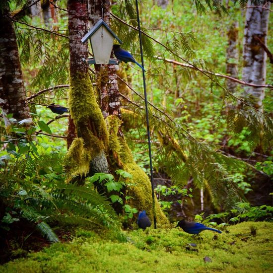 Bluejays. Hanging Out Relaxing Taking Photos Enjoying Life Birds Nature Nature_collection Cottage Life Washington State Pacific Northwest