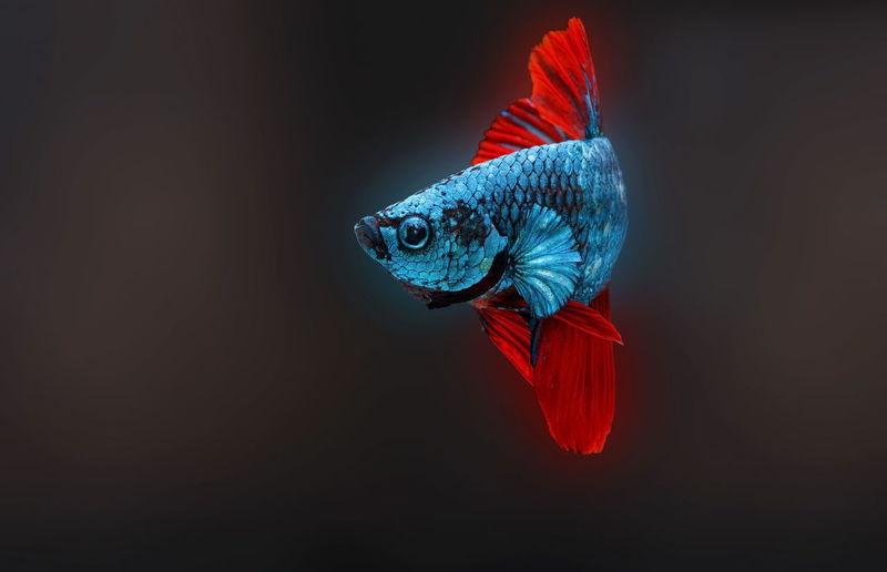 Siamese fighting fish,betta splendens,blue fish, black background, halfmoon betta.