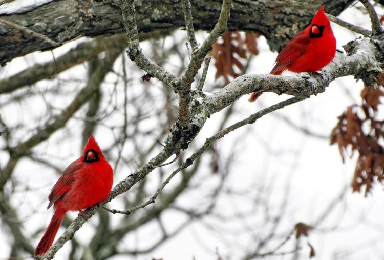 Northern cardinal birds perching on branch during winter