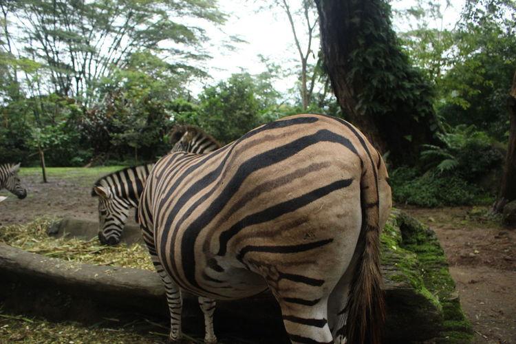 Jan 2018. Zebra