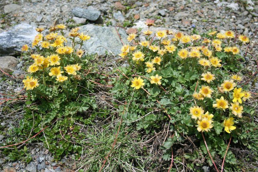Alpine Alpine Flower Glacier Stones And Flowers Tyrol Yellow