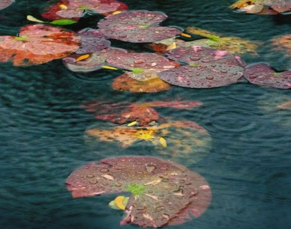 Rainy Day Lily Pad Changing Colors Fall Perspectives On Nature