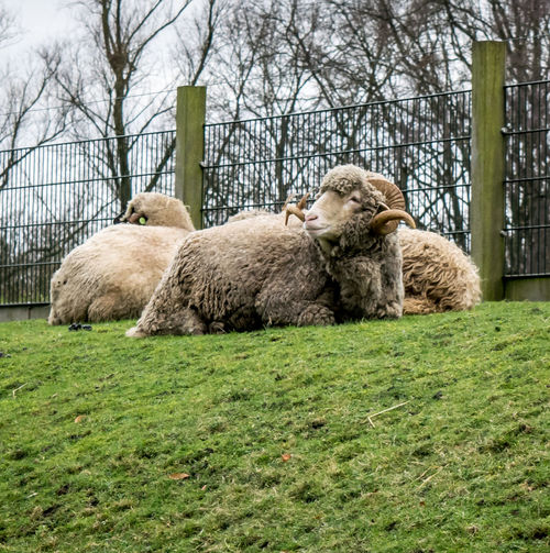 Ba RAM Yuu! #horns #ramadan #sheep Animal Themes Bestoftheday Check This Out Day Domestic Animals Grass Grassy Green Color Lying Down Mammal Nature No People Outdoors Relaxation Resting The Great Outdoors - 2016 EyeEm Awards
