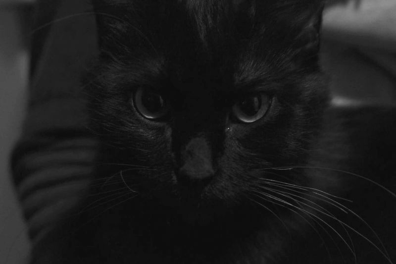 😻 Animal Eye Black Color Black And White Collection  Black And White Photography Black & White One Cat One Animal Animal Themes Animal Cat Kitten 🐱 😻my Sweety Cat😻 Black Cat Is Just So Beautiful. 😻😻😻❤️ I LOVE PHOTOGRAPHY Black Cat Beautiful Animals  Photography Like It My Favorite Photo Nice Photo Beatiful View Nice View Domestic Cat Phone Photography
