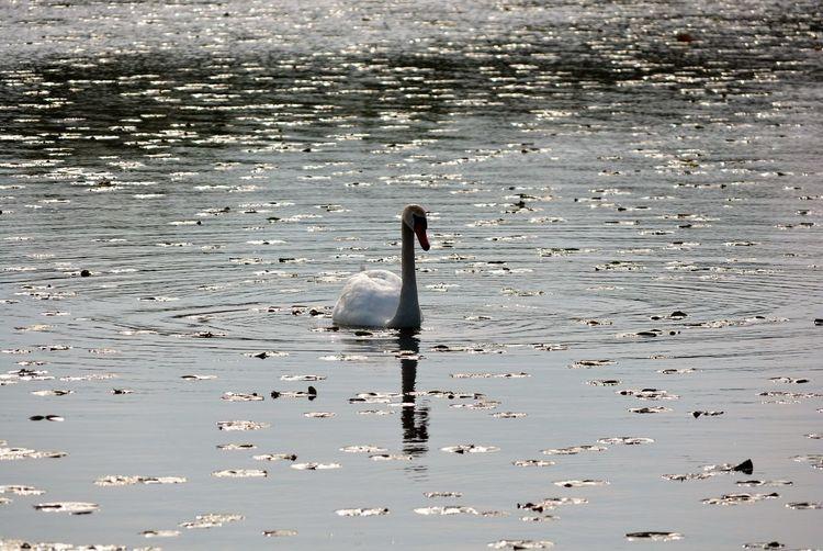 Swan Lake Alone